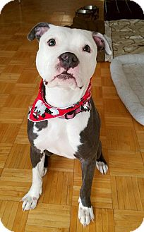 American Staffordshire Terrier Mix Dog for adoption in Bronx, New York - Athena