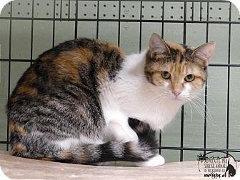 Domestic Shorthair Cat for adoption in Marlinton, West Virginia - Callie