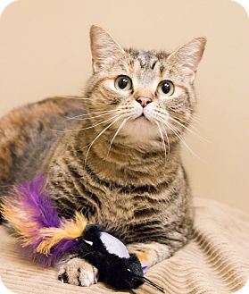 Domestic Shorthair Cat for adoption in Chicago, Illinois - Jess