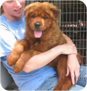 Chow Chow/Shar Pei Mix Puppy for adoption in Harbor City, California - Yogi Bear Puppy