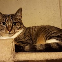 Domestic Shorthair Kitten for adoption in Florence, Kentucky - Rick