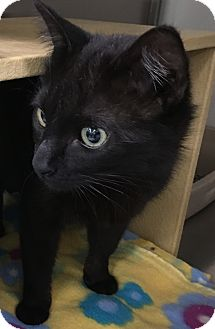 Domestic Shorthair Cat for adoption in Buhl, Idaho - Giselle