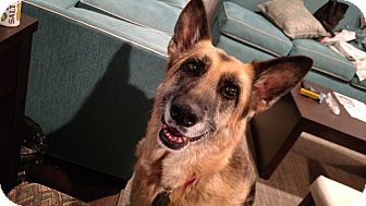 German Shepherd Dog Dog for adoption in Durham, North Carolina - Cookie