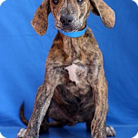 Adopt A Pet :: Maokai - Waldorf, MD