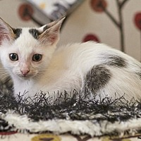 Domestic Shorthair Kitten for adoption in Chattanooga, Tennessee - Sparkle