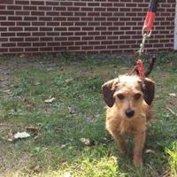 Adopt A Pet :: Tilly - Fairfax Station, VA