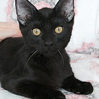 Adopt A Pet :: Scamp - St Louis, MO