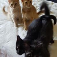 Adopt A Pet :: Gingie - Denver, CO