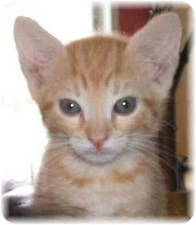 Domestic Shorthair Cat for adoption in Naples, Florida - Grady