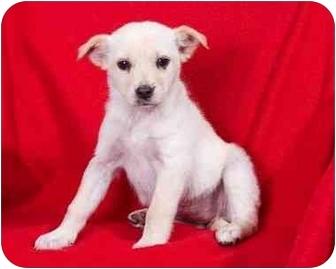 Beagle Mix Puppy for adoption in Anna, Illinois - ANTOINETTE
