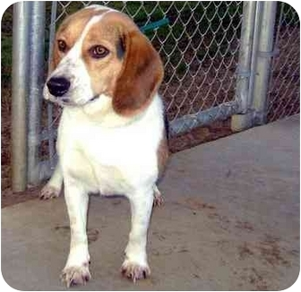 Beagle Mix Dog for adoption in Albany, Georgia - Teddy