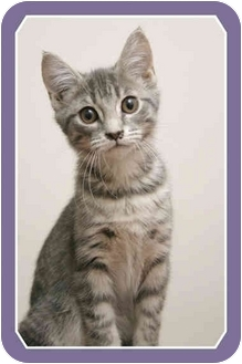 Domestic Shorthair Kitten for adoption in Sterling Heights, Michigan - Gwyn - ADOPTED!