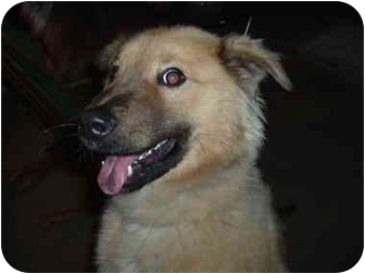 Chow Chow/Shepherd (Unknown Type) Mix Dog for adoption in Griffith, Indiana - Bodie