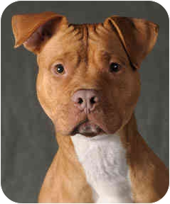 American Pit Bull Terrier Dog for adoption in Chicago, Illinois - Lexi