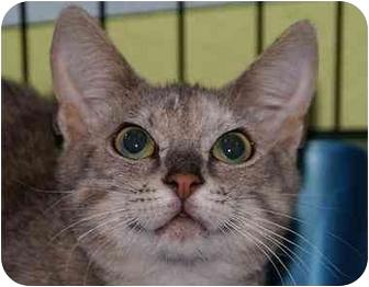 Domestic Shorthair Kitten for adoption in Englewood, Florida - Tillie