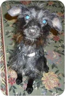 Terrier (Unknown Type, Small)/Schnauzer (Miniature) Mix Puppy for adoption in Sacramento, California - Sashi!