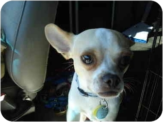 Chihuahua Dog for adoption in Clinton, Missouri - Benny