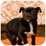 Photo 2 - Boston Terrier/Pit Bull Terrier Mix Puppy for adoption in Portland, Oregon - Tim