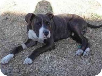 Boxer Mix Puppy for adoption in West Los Angeles, California - Roscoe