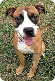 Boxer/Labrador Retriever Mix Dog for adoption in South Haven, Michigan - Miley (aka Riley)