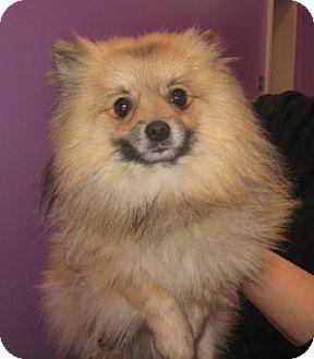 Pomeranian Mix Dog for adoption in Hammonton, New Jersey - Pong
