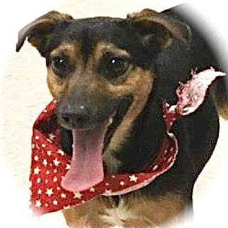 Chihuahua/Rat Terrier Mix Dog for adoption in Lufkin, Texas - Toby