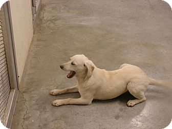 Labrador Retriever Mix Puppy for adoption in Fort Scott, Kansas - Molly