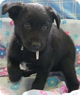 Labrador Retriever/German Shepherd Dog Mix Puppy for adoption in River Falls, Wisconsin - Dream