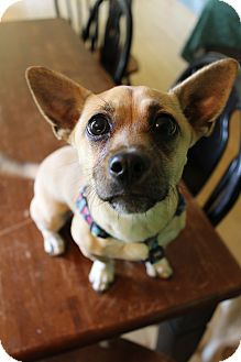 Chihuahua/Corgi Mix Puppy for adoption in Bedminster, New Jersey - Harley