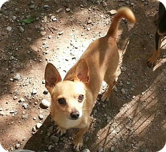 Chihuahua Mix Dog for adoption in Alamogordo, New Mexico - Kisses