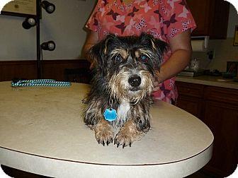 Schnauzer (Miniature) Mix Dog for adoption in Cat Spring, Texas - Nacho