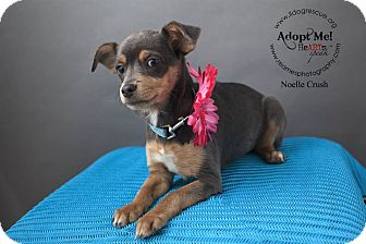 Chihuahua Mix Puppy for adoption in Shawnee Mission, Kansas - Noelle Crush