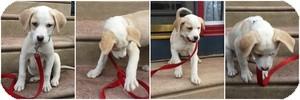 Australian Cattle Dog Mix Puppy for adoption in Marlton, New Jersey - Scotch