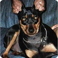 Adopt A Pet :: Angel - Evansville, IN