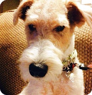 Fox Terrier (Wirehaired) Dog for adoption in Wichita Falls, Texas - Tucker