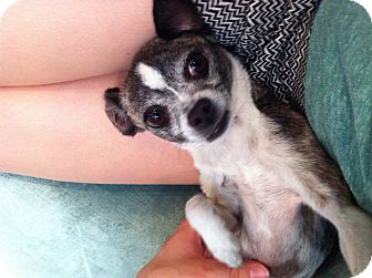 Chihuahua Mix Dog for adoption in Los Angeles, California - Layla
