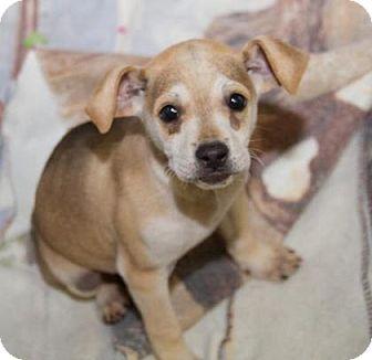 Shepherd (Unknown Type)/Hound (Unknown Type) Mix Dog for adoption in Philadelphia, Pennsylvania - Anderson