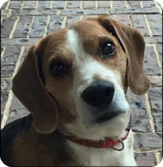 Beagle Dog for adoption in Fort Worth, Texas - BOBBY