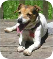 Jack Russell Terrier Dog for adoption in Warren, New Jersey - Rae