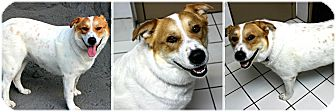 Collie/Great Pyrenees Mix Dog for adoption in Forked River, New Jersey - Trisha