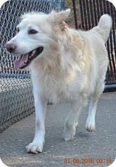 Golden Retriever Mix Dog for adoption in Salem, New Hampshire - TY