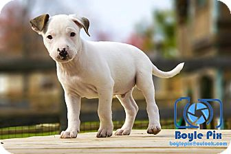 Pit Bull Terrier/Dogo Argentino Mix Puppy for adoption in Cincinnati, Ohio - Dobby
