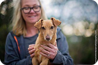 Dachshund Mix Dog for adoption in Vista, California - Tee Bone