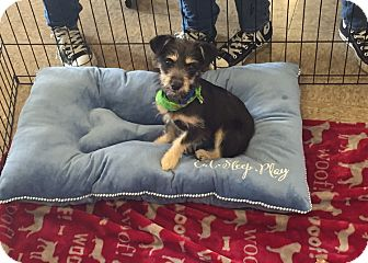 Terrier (Unknown Type, Small)/Schnauzer (Miniature) Mix Puppy for adoption in Brea, California - Ethan