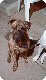 American Pit Bull Terrier/German Shepherd Dog Mix Dog for adoption in San Diego, California - Trixie