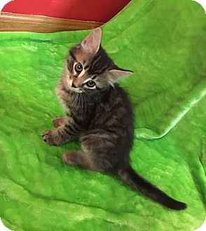 Domestic Shorthair Kitten for adoption in Columbus, Ohio - Oscar