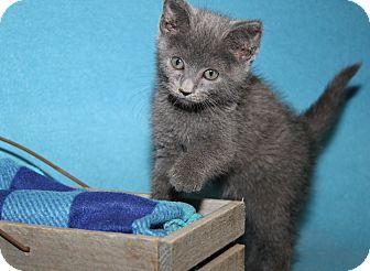 Domestic Shorthair Kitten for adoption in Marietta, Ohio - Natasha (Spayed)