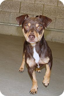 Chihuahua Mix Dog for adoption in Ruidoso, New Mexico - Kano