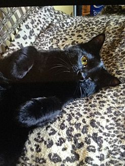 Domestic Shorthair Cat for adoption in Burnham, Pennsylvania - Rosie