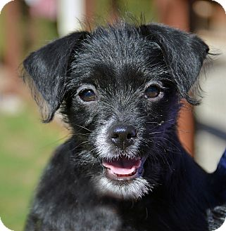 Terrier (Unknown Type, Small) Mix Puppy for adoption in Mountain Center, California - Sparrow